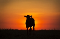 Weaner sunset