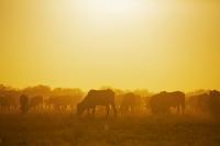 Sunrise grazing
